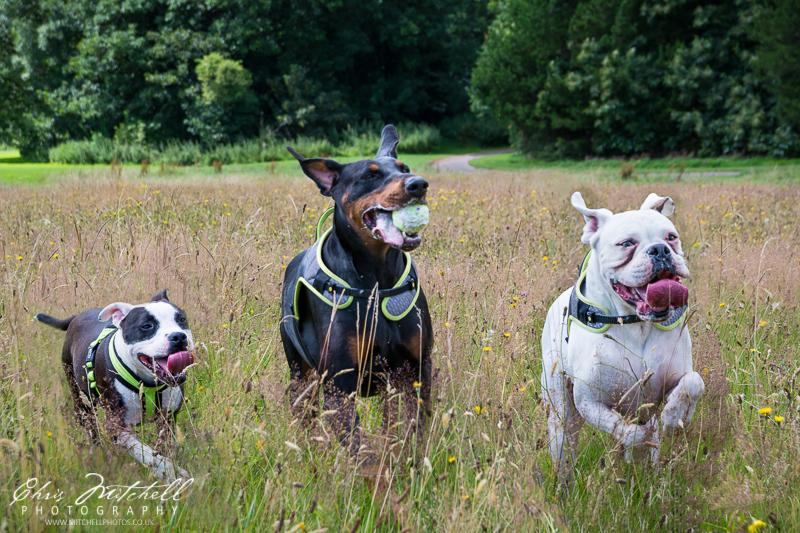 Three dogs run through long grass, one of them carrying a tennis ball