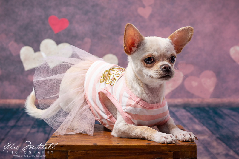 A chihuahua poses on a stool wearing a dress