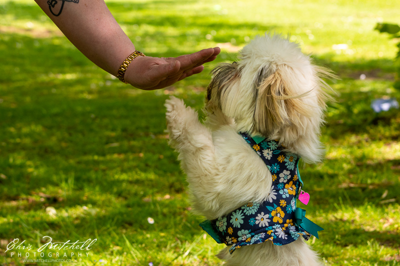 A small dog stands up, reaching for the owners hand
