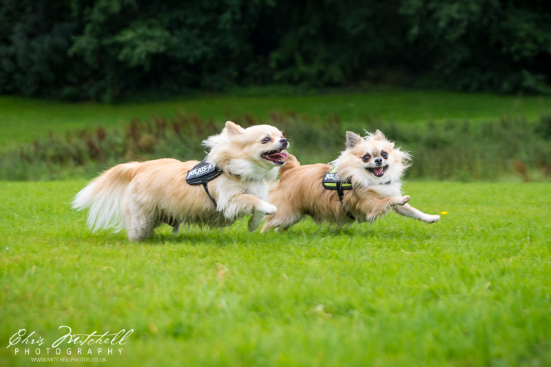Two chihuahua dogs running through a field